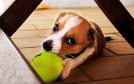 Animals dogs balls wallpaper
