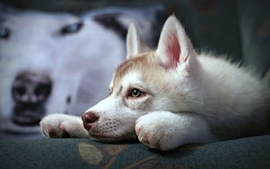 Animals dogs house pets siberian husky wallpaper