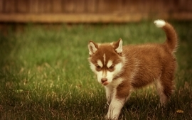 Animals dogs husky 3 wallpaper