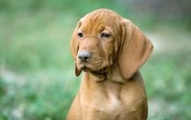 Animals dogs outdoors pets vizsla wallpaper