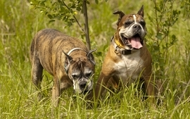 Animals dogs pets 4 wallpaper