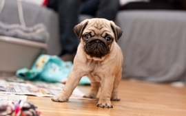 Animals dogs pugs puppies wallpaper