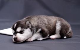 Animals dogs puppies husky wallpaper