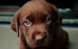 Animals dogs puppies pets 3 wallpaper