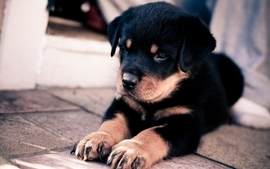Animals dogs puppies wallpaper