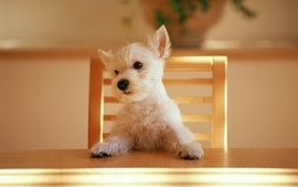 Animals dogs tables canine chairs wallpaper