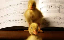Animals ducks duckling musical musical notes baby birds birds wallpaper