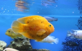 Animals fish golden aquarium wallpaper