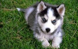 Animals grass dogs puppies siberian husky wallpaper