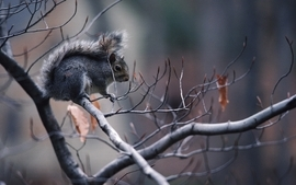 Animals leaves squirrels depth of field branches wallpaper