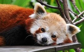Animals orange red pandas wallpaper