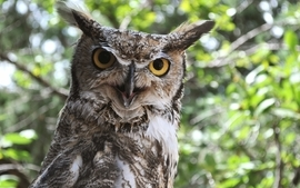 Animals owls birds wallpaper