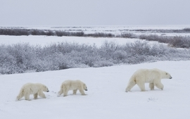 Animals polar bears 3 wallpaper