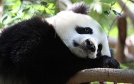 Animals sad panda bears wallpaper