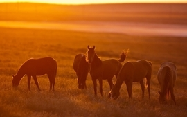 Animals silhouette fields horses sunlight wallpaper