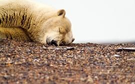 Animals sleeping bears polar bears wallpaper