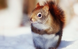 Animals squirrels 12 wallpaper