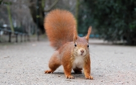 Animals squirrels 17 wallpaper