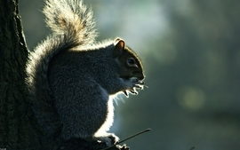Animals squirrels 2 wallpaper