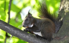 Animals squirrels 3 wallpaper