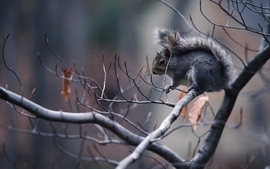 Animals squirrels 4 wallpaper