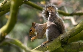 Animals squirrels 5 wallpaper