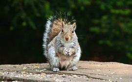 Animals squirrels 9 wallpaper