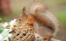 Animals squirrels baskets wallpaper