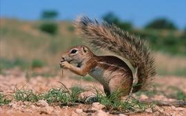 Animals squirrels eating wallpaper