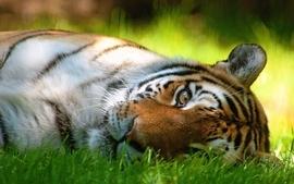 Animals tigers grass lying down wallpaper