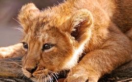 Animals wildlife lions baby animals wallpaper
