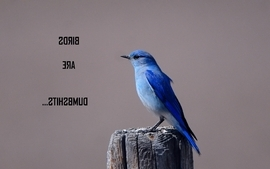 Birds animals humor quotes dumb bluebirds wallpaper