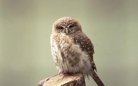 Birds animals owls depth of field wallpaper