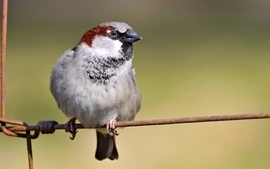 Birds animals sparrow wallpaper