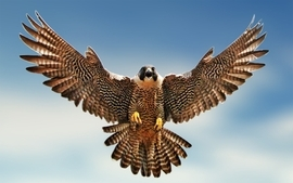 Birds falcon bird wallpaper