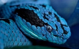 Blue snakes reptiles wallpaper