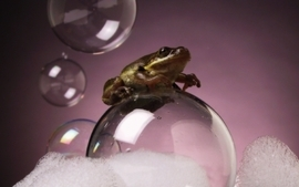 Bubbles frogs amphibians wallpaper