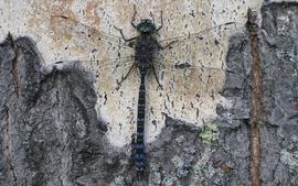 Bug dragonflies wallpaper