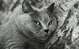 Cats animals chubby grayscale wallpaper