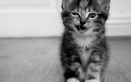 Cats animals funny monochrome kittens wallpaper
