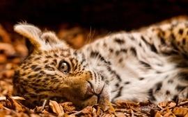 Cats animals jaguar little feline wallpaper