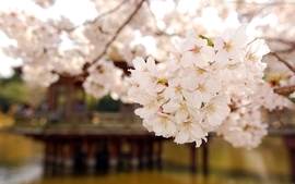 Cherry blossoms trees blossoms wallpaper
