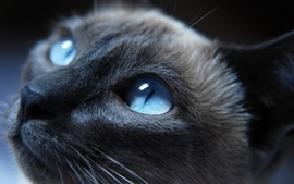 Closeup cats blue eyes animals photography wallpaper