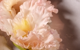 Closeup flowers gladiolus wallpaper
