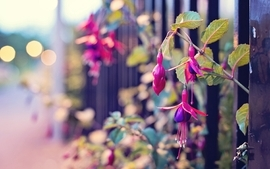 Closeup nature streets flowers fences fuschia wallpaper