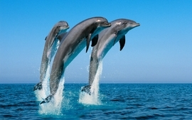 Dolphins 2 wallpaper