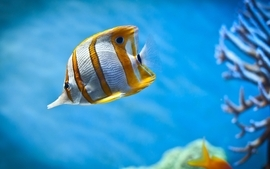 Fish aquarium chelmon wallpaper
