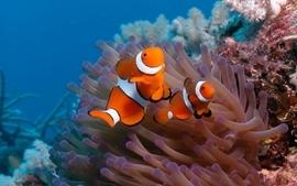 Fish clownfish coral reef wallpaper