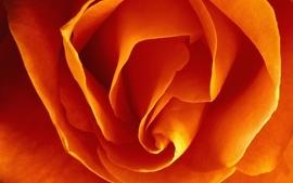 Flowers orange macro roses orange flowers wallpaper