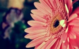 Flowers pink gerbera flower gerber daisy wallpaper